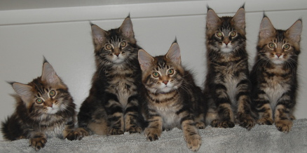 Windwalker kittens 14 weeks old