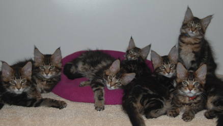 Taos's kittens 12 weeks old
