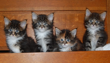Windwalker kittens five weeks old