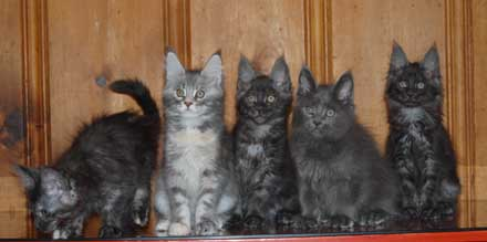 Liberty's kittens, 10 weeks old, December 2011
