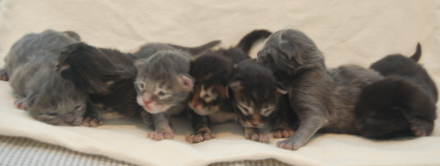Sokoki's five day old kittens