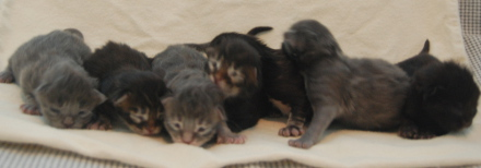 Sokoki kittens five days old