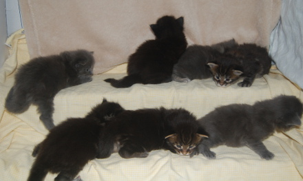 Windwalker kittens three weeks old